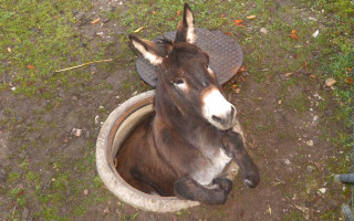 Photo provided by police in Pratteln near Basel, Switzerland, shows a donkey that fell into a hole on Saturday, Nov. 1, 2014. Firefighters could rescue the animal from its predicament. (AP Photo/Keystone, Police Basel Landschaft) MANDATORY CREDIT