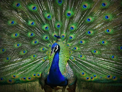 Will Peacock Be Crowing Tonight?